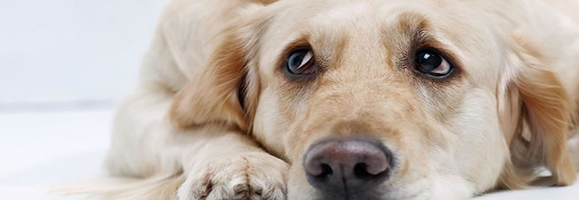 Canine symptoms can be mistaken for depression, laziness or aggression